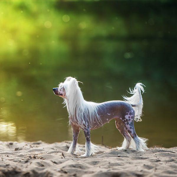 Chinesischer Schopfhund am see