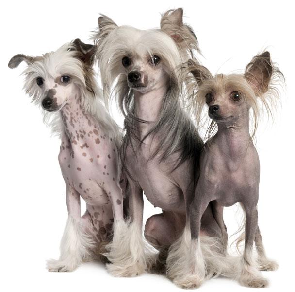 Chinesische Schopfhund 3