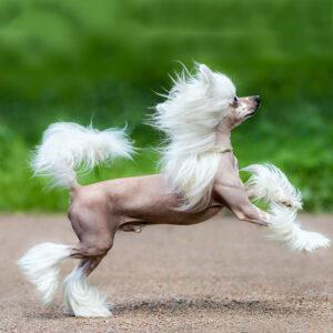 Chinesischer Schopfhund Ganzkörper Ansicht
