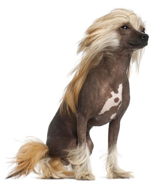 Chinesische Schopfhund