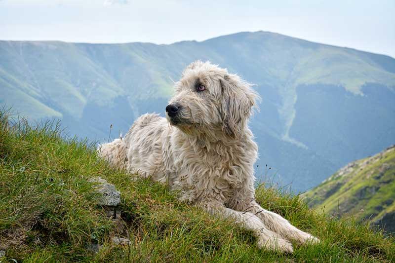Romänischer Hirtenhund Ciobănesc Românesc Mioritic