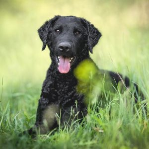 Curly-Coated Retriever sitzend