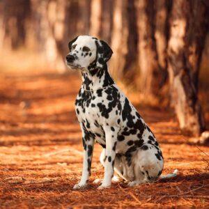 Dalmatiner im Wald