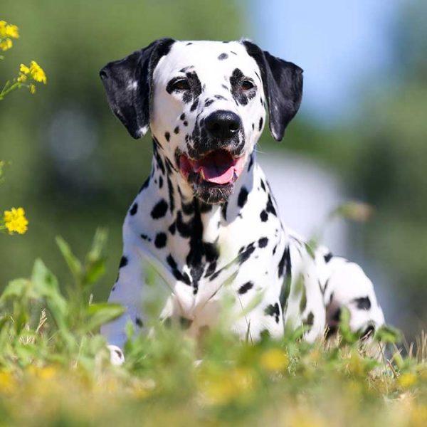 Dalmatiner auf einer wiese