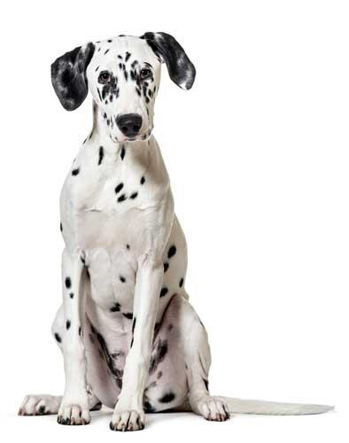 Dalmatiner mit weissem Hintergrund