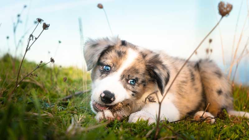 Merle - blaue Augen bei Hunden