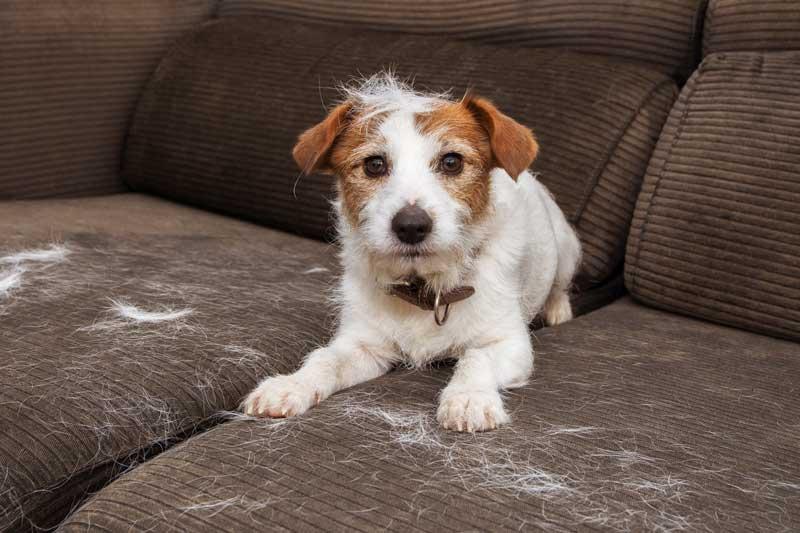 kleine hunderassen die nicht haaren, lustiger hund auf sofa