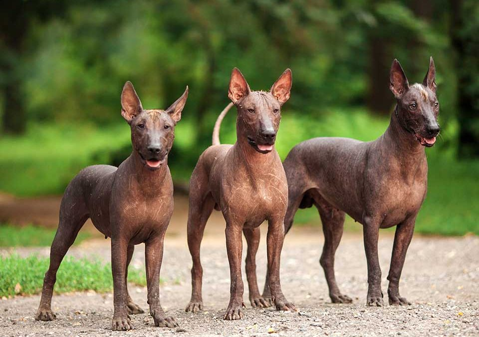 Hunde ohne Fell - Mexikanischer Nackhund Mexican Xoloitzcuintli