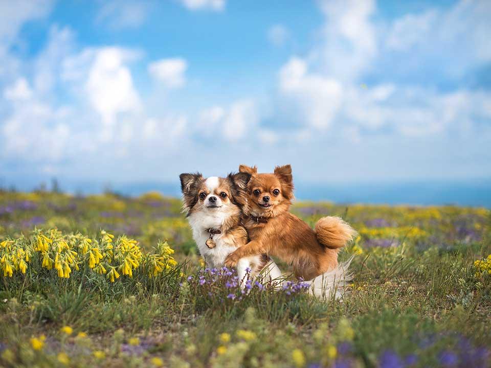 Chihuahua - der kleinste hund der welt