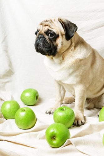 Mops mit grünen Äpfeln