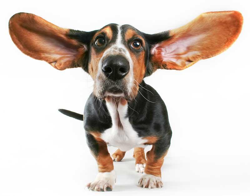 Basset Hound mit langen Ohren