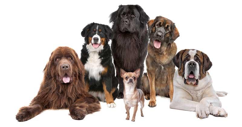 Riesen Hunde