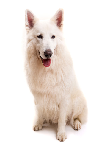 Berger Blanc Suisse isoliert