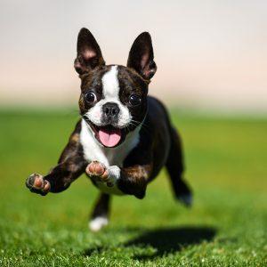 Bosten terrier springend