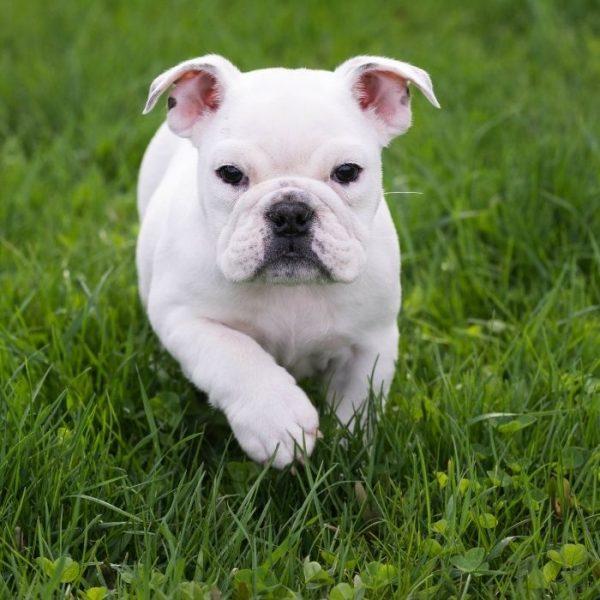 Englische Bulldogge Hündchen