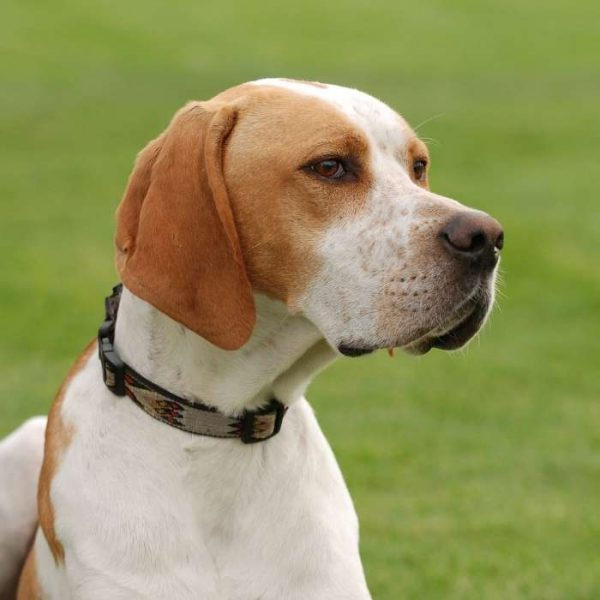 english pointer close up