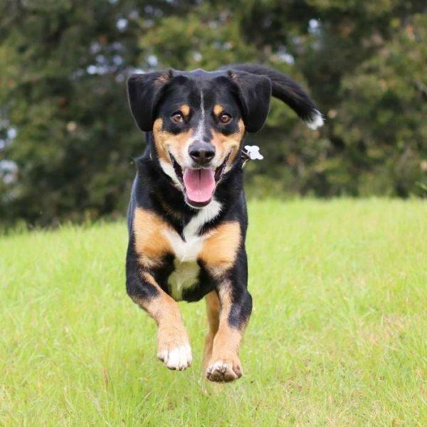 Entlebucher Sennenhund Laufen