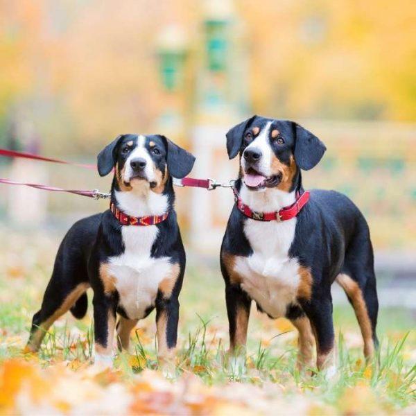 zwei Entlebucher Sennenhund