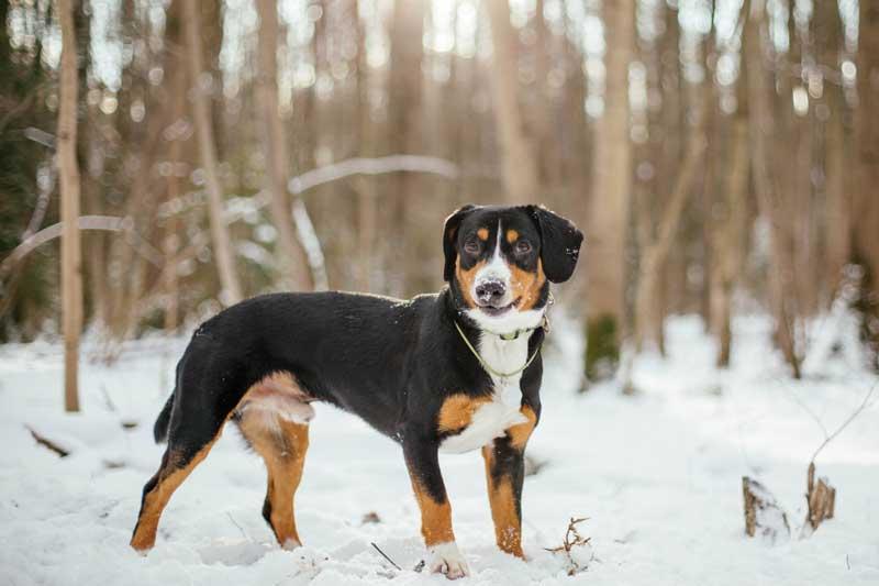 Entlebucher Sennenhund im Schnee