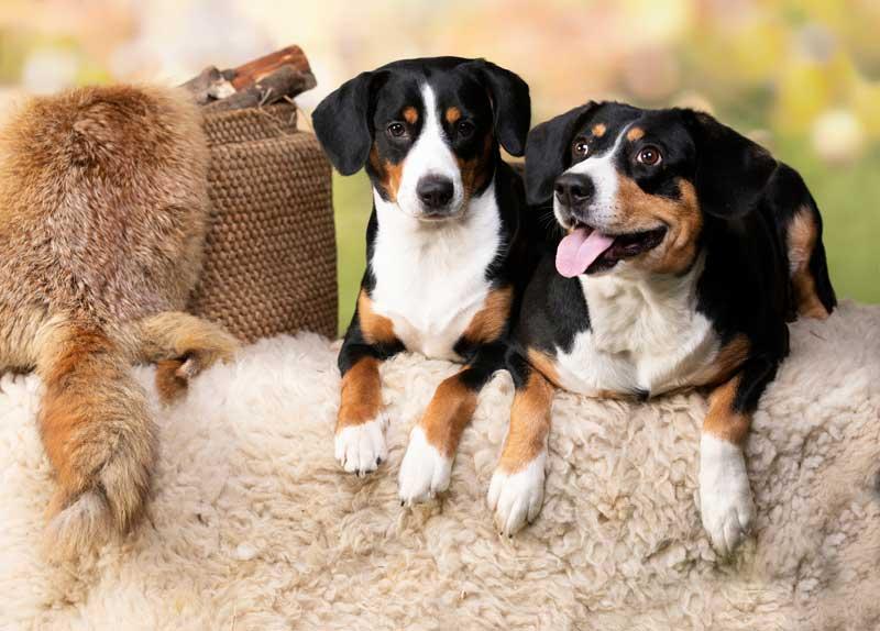 Zwei Entlebucher Sennenhunde liegend