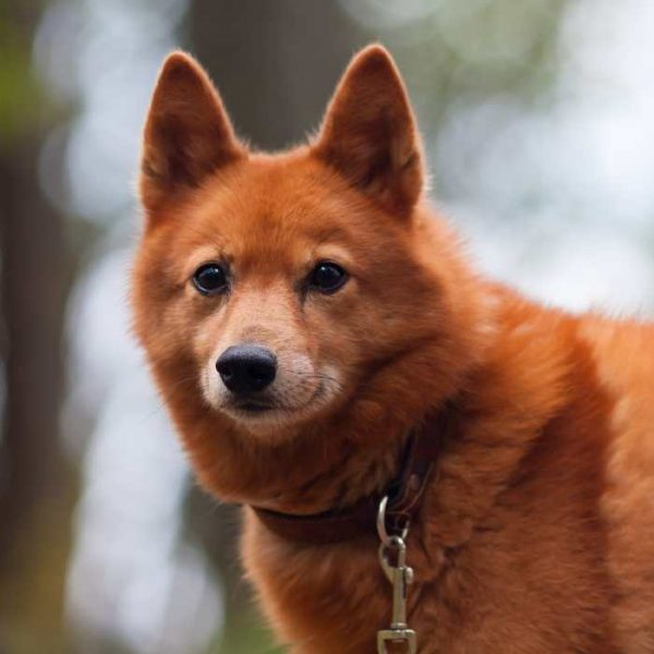 Finnish Spitz close up