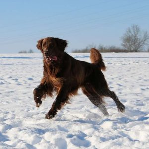Flat Coated Retriever im schnee