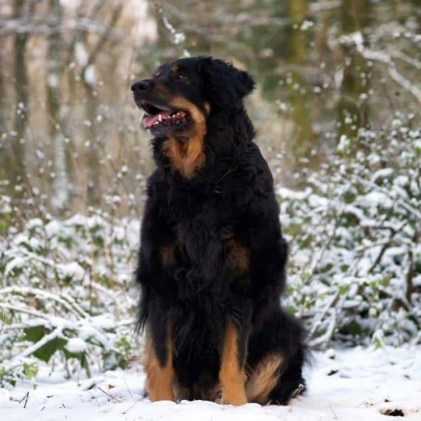Hovawart im schnee