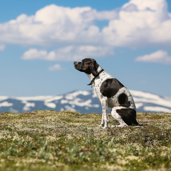 english pointer im Feld