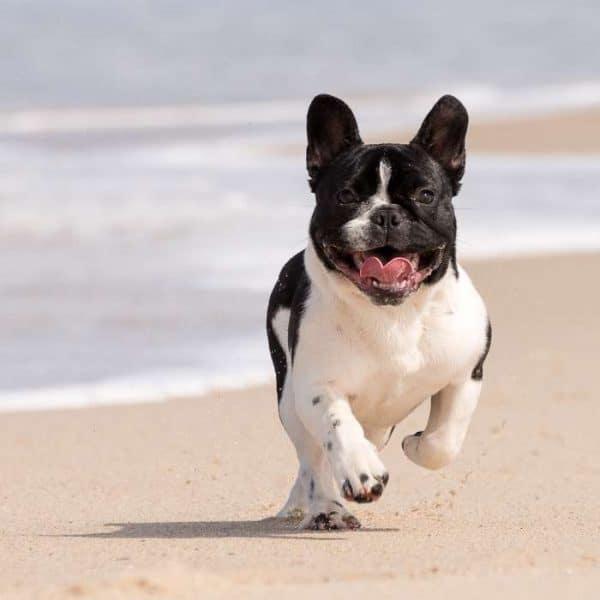 Französische Bulldogge Laufen