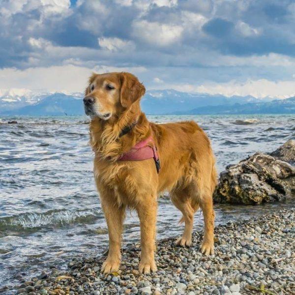 golden retriever im Strand