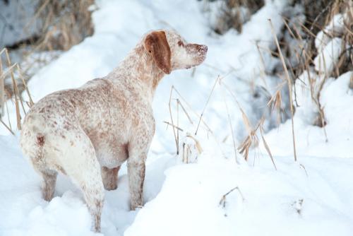 Braque du Bourbonnais im Schnee