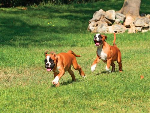 two deutscher boxer laufen
