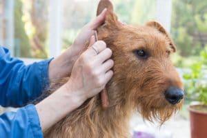 irish terrier Pflege