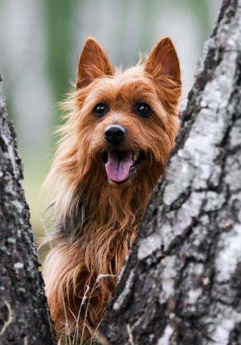 australian terrier auf einem Baum