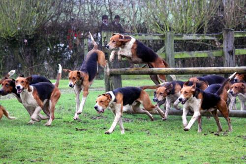 english foxhound laufen