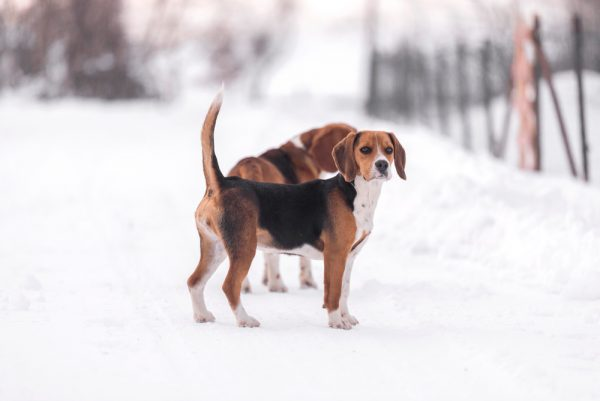 beagle harrier im Schnee