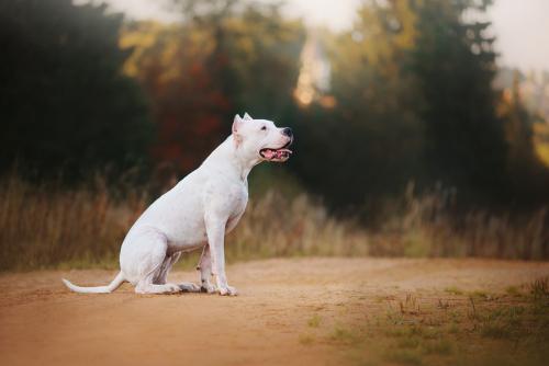 Dogo Argentino im wald