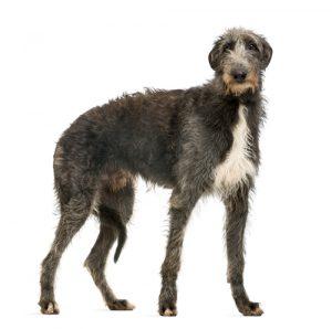 deerhound weißer Hintergrund