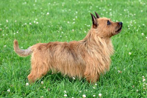 australian terrier im gras