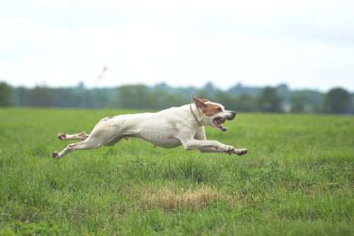english pointer laufen