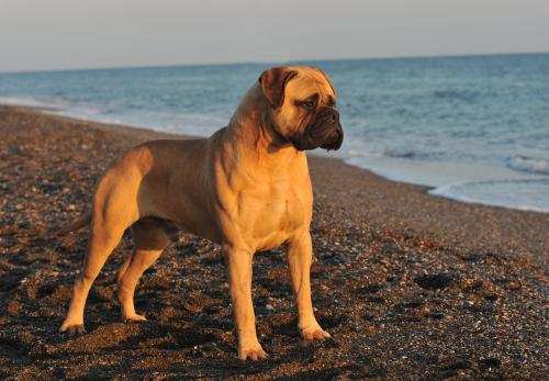 english mastiff am Strand