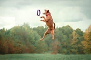 irish terrier Ausbildung