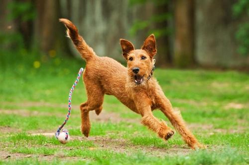 irish terrier Laufen