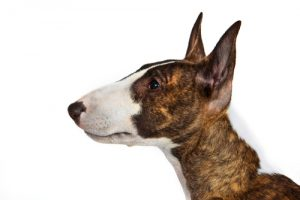 bullterrier close up