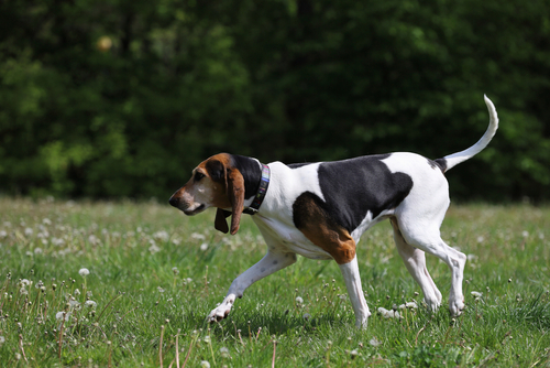 english foxhound im feld