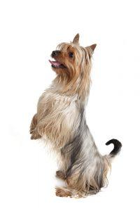 silky terrier portrait weißer Hintergrund