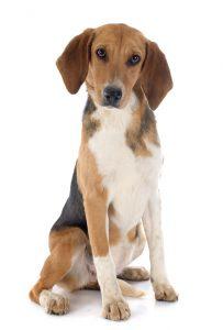 beagle harrier weißer Hintergrund