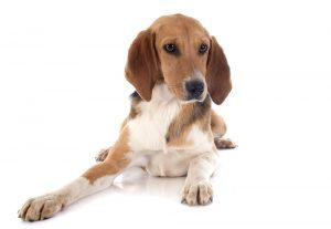 beagle harrier weißer Hintergrund sitzen