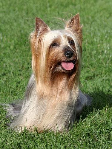 silky terrier im gras