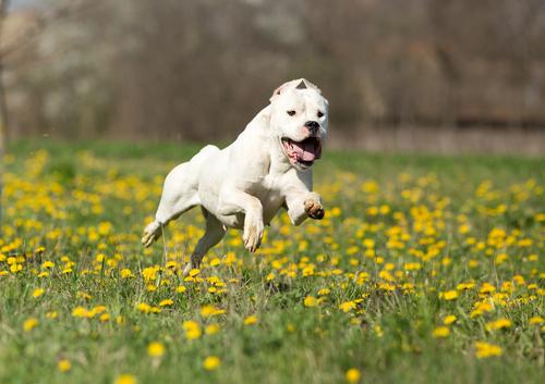Dogo Argentino auf den Feldern laufen